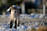 Goats at fish farm