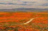 Poppy Reserve/ Antelope Valley  2008