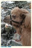 2009 - kameel en dromedaris