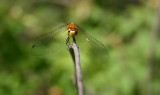 meadowhawk (Sympetrum) of some sort