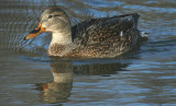 ...Nov - Mallard in Winterpegg...