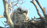 Great Horned Owls 2008