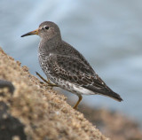 Birds of Washington  Gallery 4: Shorebirds #2  Peeps to Phalaropes (167 to 186)