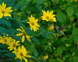 Woodland Sunflower Helianthus divaricatus IMGP8692.jpg