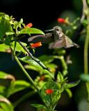 Manettia luteorubra  Candy Corn Vine IMGP8688.jpg