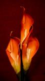 Warm Lilies