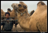 Bactrian camel in animal market