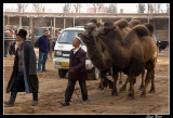 Bactrian camels in animal market