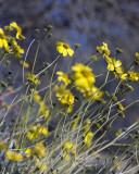 Desert Marigold 2