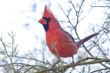 027_Cardinal__7178`1001141302.jpg