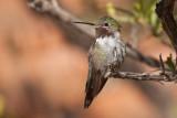 035_Hummingbird__7240`1001141411.jpg
