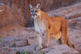 040_Mountain Lion__7311`1001141522.jpg