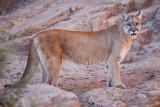 041_Mountain Lion__7327`1001141529.jpg