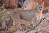 042_Mountain Lion__7340`1001141532.jpg