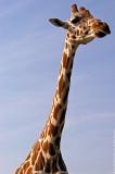 $95 - Giraffe