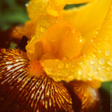 Iris Flower in Rain Droplets (close-up)