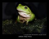 Green Tree Frog .jpg