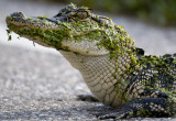 Alligator (young)