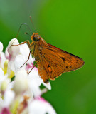 Cephrenes acalle (male) 金斑弄蝶(雄)