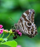 Satyridae (Browns) 眼蝶