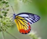 Pieridae (Whites, Yellows)   粉蝶
