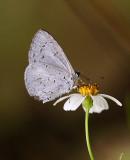 Albocaerulean 白斑嫵灰蝶 Udara albocaerulea
