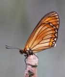 Acraeidae (Coaster) 珍蝶