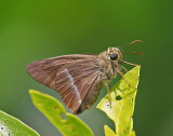 Banded Awl 雙斑趾弄蝶 Hasora chromus