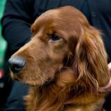 Hund 2009 dogshow in Stockholm December 12, 2009