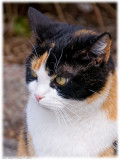 Beautiful calico-cat