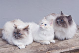 25/4 Familyphoto of the SE*Maulkins Cattery