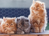Very old scan of my second persian litter. Bustopher, Betty Boop and Bastian.