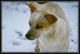 snow's dog