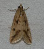 achyra bifidalis (Hodges #4974)