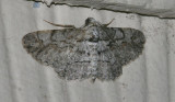iridopsis defectaria-brown-shaded gray (6586)