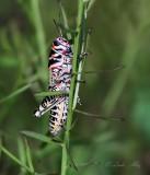 IMG_0896 doctylotum bicolor grasshopper.jpg