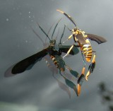 texas moth wasp