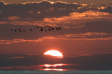 Black Skimmers at sunset, Grand Isle, LA.jpg