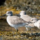 juvenile Red Knots, Essex Bay.jpg