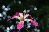 Silk Floss Flower