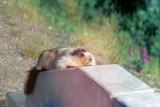 Marmot enjoying the Sun