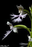 Platanthera X Keenanii Closeup
