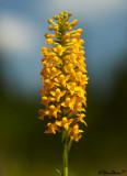 Yellow Fringeless Orchid