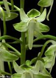 Platanthera Orbiculata Closeup