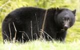 Bear Eating