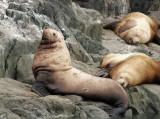 Sea Lion preening