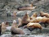 Still more sea lions