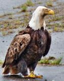 Scruffy old one-legged eagle