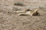 Dying lioness