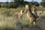 Playing lioness